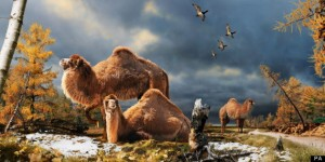 Giant camels roamed the Artic
