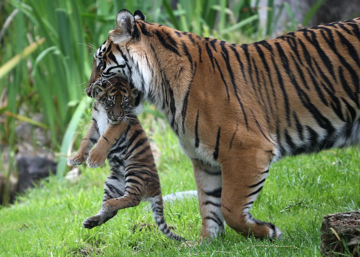 tigher n her cub