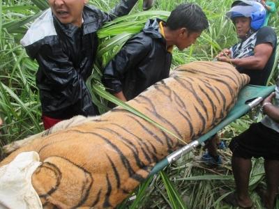 Tiger Arrested