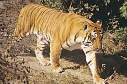 tiger_in-chitwan