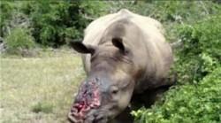 rhino horn lost